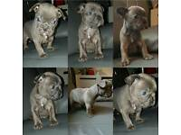 Kc reg french bulldogs