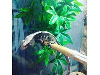 Male crested gecko! 150 for full setup