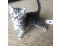 Beautiful silver BSH X Maine coon kittens