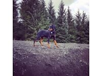 19 week old doberman for sale £550 had all jags and is a big healthy dog.no papers but great dog.