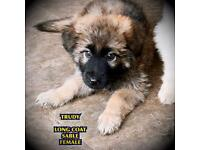 KC GERMAN SHEPHERD PUPPIES