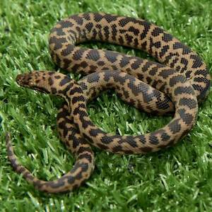 Spotted Python Hatchling Howard Springs Litchfield Area Preview