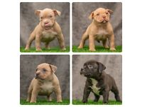 American Pocket bully puppies (World famous ICON X LOTUS)