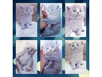 Exceptionally Stunning Pedigree British Blue Kittens