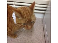 Found ginger tom tabby young cat nw5