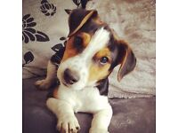 Male Jack Russell pup 9 months old
