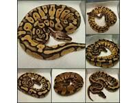 CB16 Royal Pythons - Various Morphs