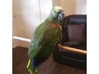 amazon blue fronted parrot NO OFFERS