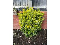 Large evergreen euonymus plant. Approx 95 cm