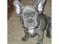 Ready to leave french bulldog puppies