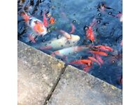 FOUR LARGE KOI CARP LOOKING FOR A NEW HOME