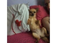 WANTED..very small/miniature adult dog.