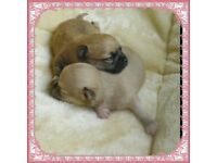 GORGEOUS BABY CHIHUAHUAS