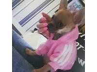 Chihuahua 9 Months