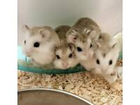 Baby Roborovski Hamsters