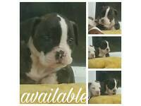 3 alapaha blueblood bulldog males ONLY 1 AVAILABLE
