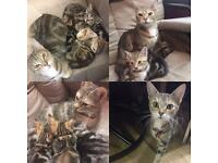 Adorable Marbled Bengal Kittens 8wks + Big Starter Packet
