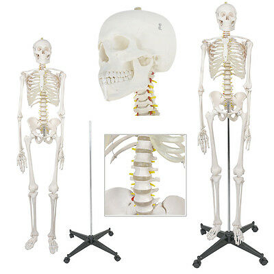 Life Size Human Body Anatomical Anatomy Skeleton Medical School Model + Stand