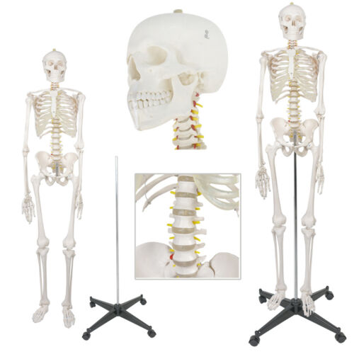New 70″ Human Anatomical Anatomy Skeleton Model Fexible Medical School Teaching Anatomical Models