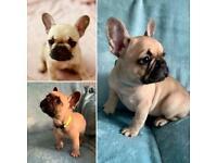 Quality French Bulldog pups