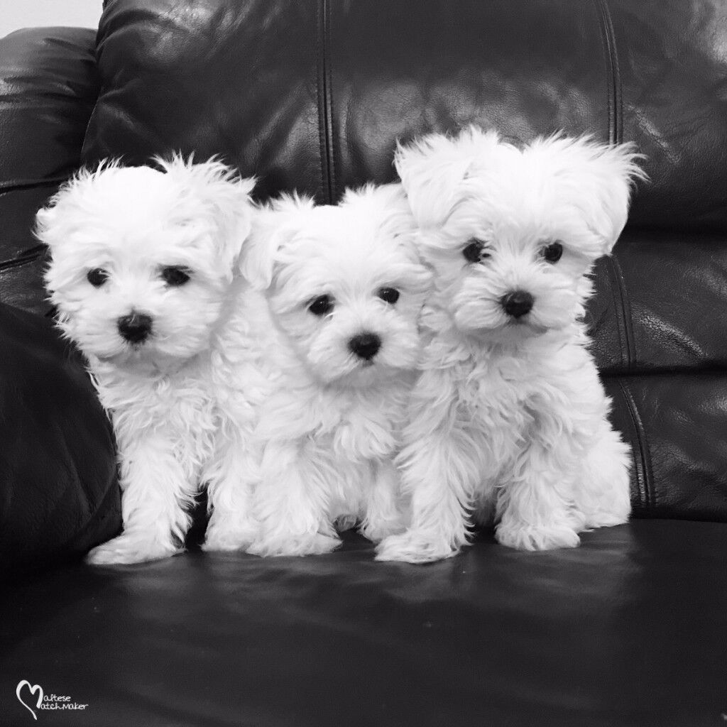 11 Week Old Male Maltese Pups In Hemel Hempstead