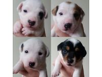 Jackrussell puppies.