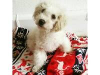 Cavachon girl puppy 10 weeks old