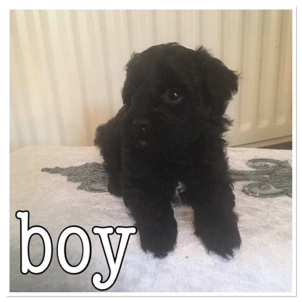 LAST BOY Lhasapoo puppies hypoallergenic
