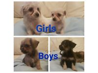 Toy poodle cross chihuahua pups 2 girls 2 boys. Ready now