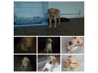 7mth old lab puppy