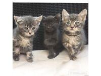 Grey kittens ready now