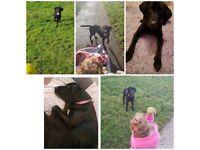 Black Labrador for sale.