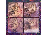 ✨Enchanting Little Bengal x British Blue Kittens For Sale😻✨
