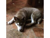 Husky free to good home