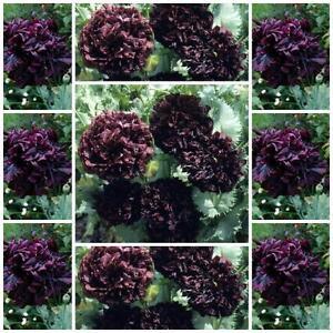 Poppy Double Black 100 flower seeds unusal Papaver paeoniflorum