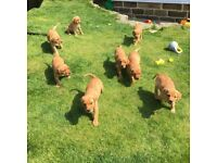Kc Reg Fox Red Lab Puppies