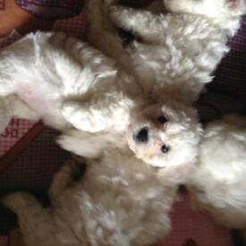 Pup for sale bichon Frise ....... Contact me through my phone number ONLY Phone 07814577962