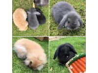 9 week old mini lops for sale