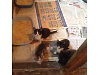 Kittens. For sale