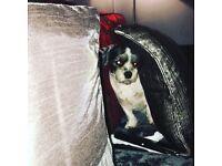 6 year old female Lhasa Apso dog