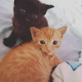 Kittens (Part Siamese x Part Ragdoll)