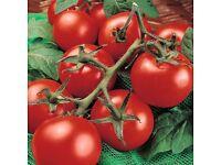 tomato plants gardeners delight growing in 9cm pots