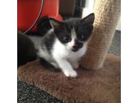 Black and white male kitten