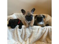 Frug puppies ready to leave Saturday pug mum & french bulldog dad both can be seen