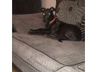 Selling lurcher cross bull terrier