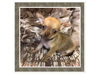Very cute KC smoothcoat chocolate chihuahua puppies for sale