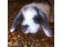 Baby mini lop eared rabbits
