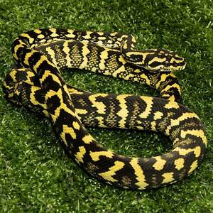 Jungle Carpet Python hatchlings and yearlings Howard Springs Litchfield Area Preview