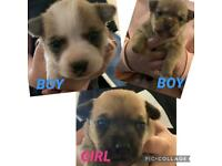 Chihuahua x jack russell puppies x3