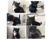 Kittens black/white available now